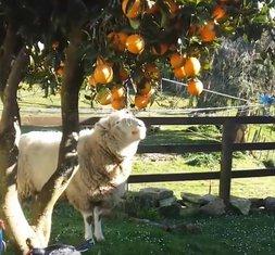 ovca i pomorandža