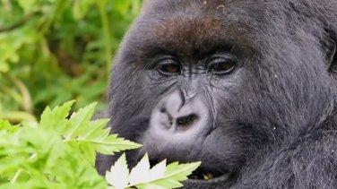 Planinske gorile