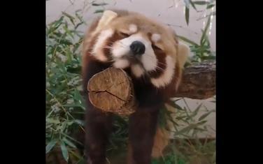 Panda spavalica