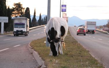Krava na putu iz Podgorice prema aerodromu Golubovci