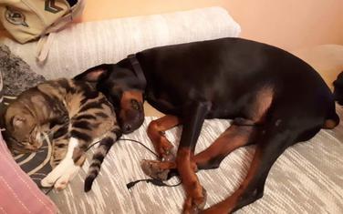Doberman Mali mirno živi sa drugim ljubimcima - mačkama