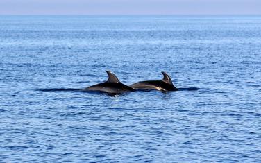 Delfini u crnogorskom moru