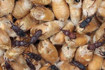 insekti, pšenica