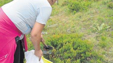 Branje borovnica