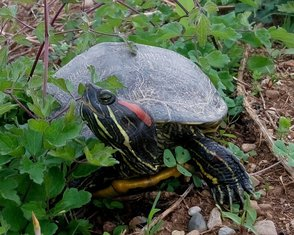 Crvenouha kornjača (novine)