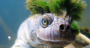 pank kornjača