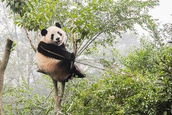 panda, džinovska panda