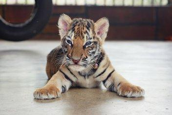 mladunče tigra