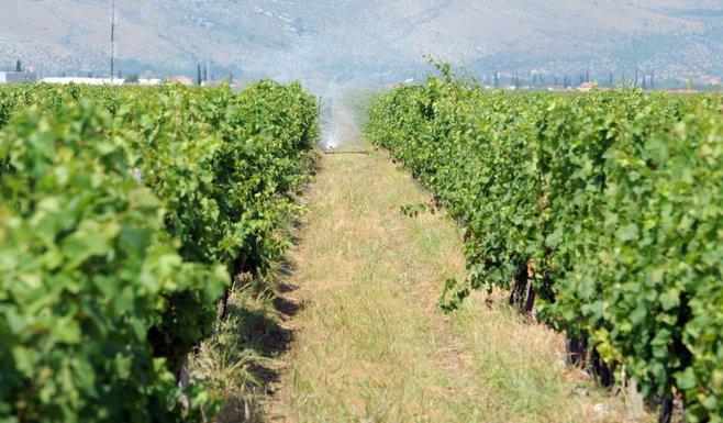 Plantaže vinograd
