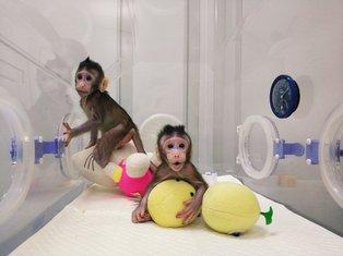 klonirani majmuni