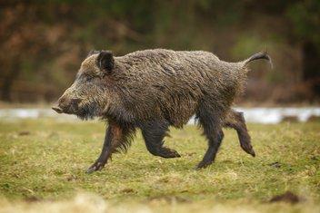 divlja svinja, vepar