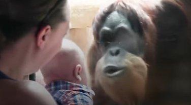 orangutan, beba