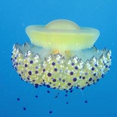 Cotylorhiza meduza