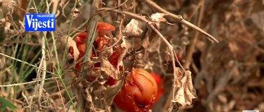 Osušeni paradajz