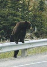 medvjed Rožaje