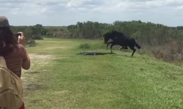 konj aligator