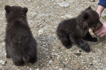 medvjedi, mečići