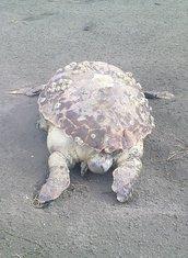 kornjača, Velika plaža
