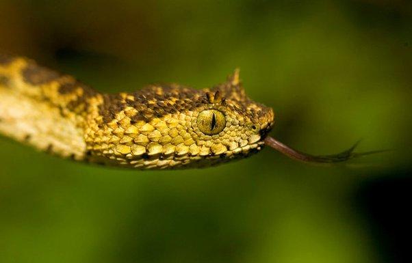 zmija