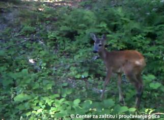 CZIP, životinje, crnogorske šume