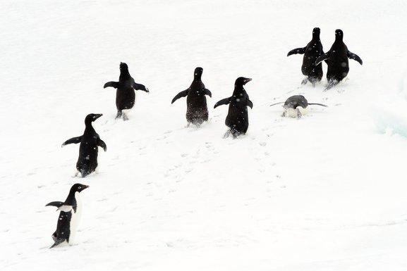 pingvin, adelijski pingvin