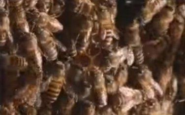 stršljenovi, pčele