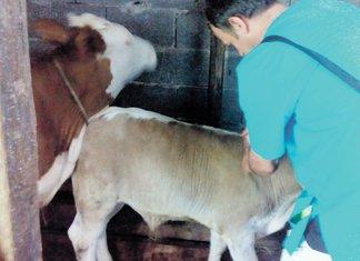 goveda, stoka