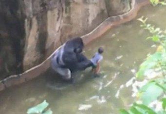 gorila beba SAD