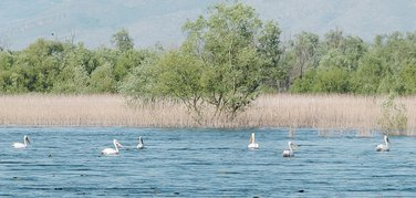 Skadarsko jezero pelikani