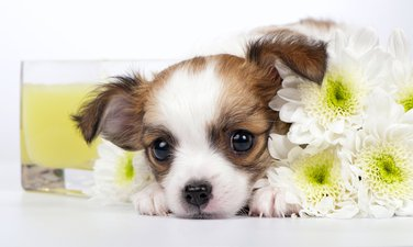 Dan zaljubljenih, kućni ljubimac, pas, cvijeće