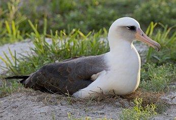 albatros Vizdom