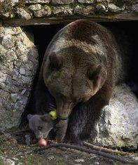 mladunčad medvjeda, King, Zoi