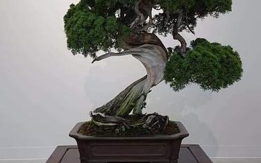 Ukradeni bonsai star 400 godina
