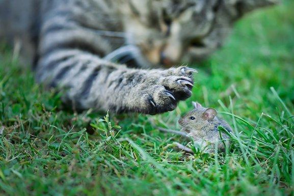 mačka, miš