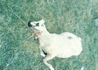 Zaklana ovca