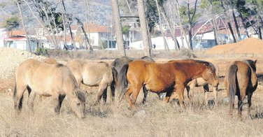 Zlatica, konji