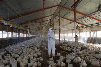 Ptičji grip, farma kokošaka