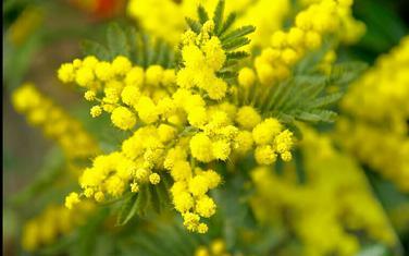Žuti cvijet je stizao na sve strane Jugoslavije