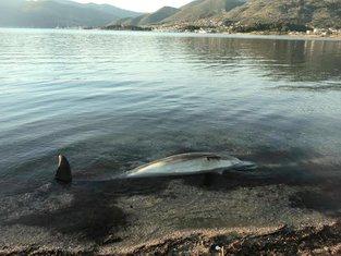 uginuli delfin, Tivat