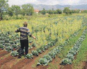 njiva, kupus, poljoprivreda