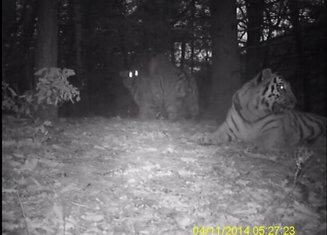 Sibirski tigrovi