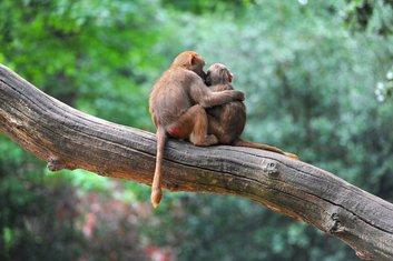 majmuni, par
