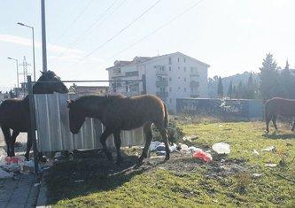 Konji, Sutomore (Novina)