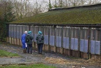 farma pilića, Holandija