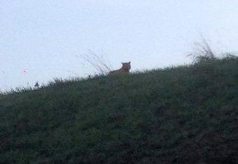 Francuska tigar
