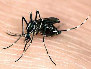 Tigrasti komarac