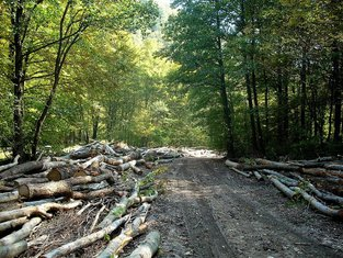 Sječa šume