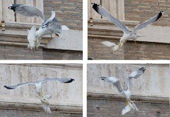 Vatikan, golubice