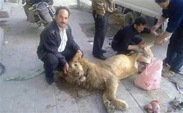 Sirija lav