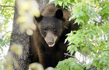 Medvjed u kampusu univerziteta u Koloradu
